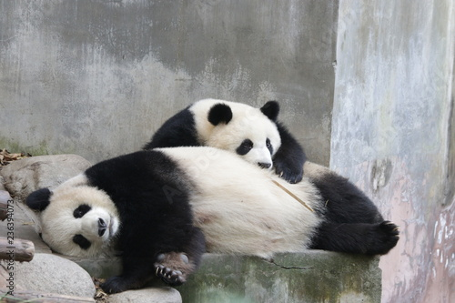 Mother Panda and Her Cub, Chengdu, China