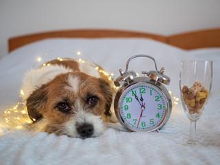 Silvester - Jack Russel Mischlingshund mit einem Wecker und einem Sektglas auf einem Bett  © Sonja