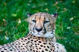 Cheetah head close-up