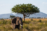 Beautiful elephant standing on the Serengeti National Park plains , Tanzania