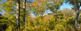 Panoraminc shot of autumn Beech forest - 236444093