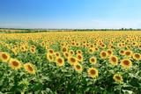 sunflower field summer landscape / bright summer day sunflowers absorb sunlight