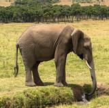 Elefant, durstig, Massai Mara