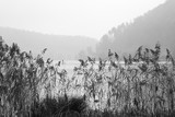 Black and white shot of high grass by the lake in a misty morning. - 236456822