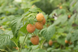 ripe yellow raspberry on a branch.
