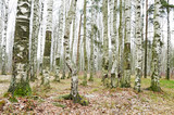 Birch grove in winter. - 236469216