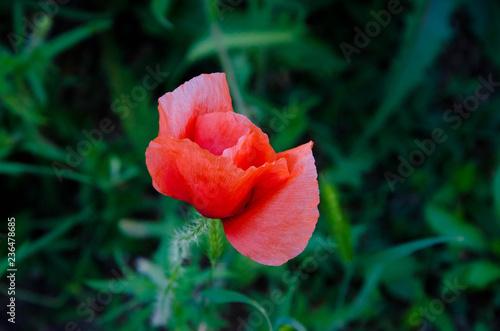 red tulip in the garden - 236478685