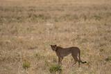 Cheetah standing in grass in Serengeti