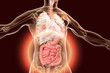 Leinwanddruck Bild - Human body anatomy with highlighted digestive system, 3D illustration