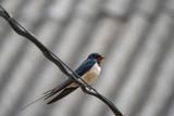 Resting swallow - 236501203