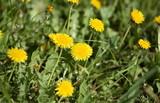dandelion at spring - 236512247