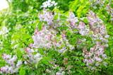 lilac at spring - 236512279