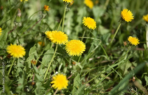 dandelion at spring - 236512247