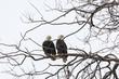 bald eagle male and female