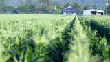 Slow panning footage showing lush green healthy looking crop while pulling focus to old farmhouse in background. - 236522488