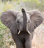 Close up frontal portrait of young elephant, Loxodonta africana, trumpeting with raised trunk