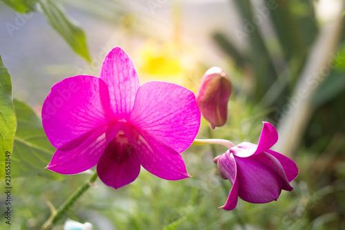 Pink Phalaenopsis or Moth dendrobium Orchid flower  - 236553849