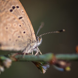 Close up of a single butterfly in the wild- Israel