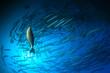 Quadro Chevron Barracuda fish