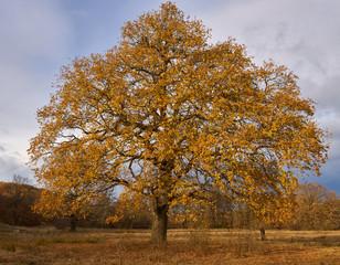 Big oak tree at sunset