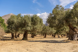 Landscape on the island of Crete, Greece with a wide view over some olive trees on a field