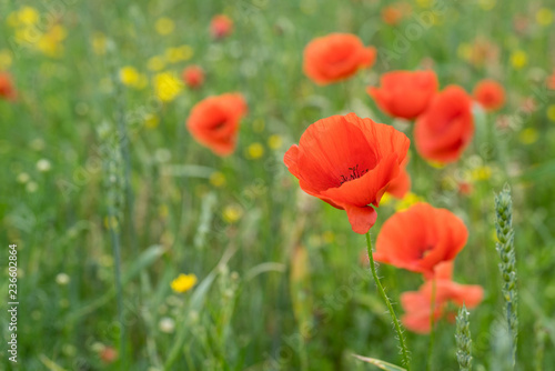 Red long-headed poppy field, blindeyes, Papaver dubium. Blooming flower in a natural environment
