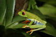 Red-eyed tree frog, an arboreal hylid native to Neotropical rainforests on a close up horizontal picture. A colorful species with large eyes sometimes bred as a pet.