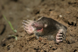 European mole on a close up picture. A common garden pest in its natural habitat on the horizontal picture. A blind mammal with large legs specialized for digging. - 236604284