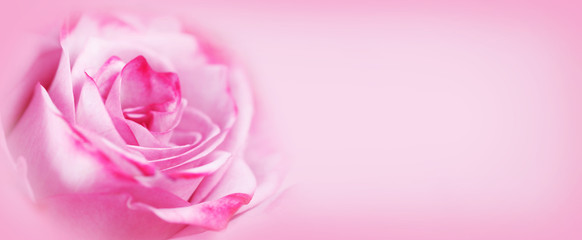 Pink rose flower background © yellowj