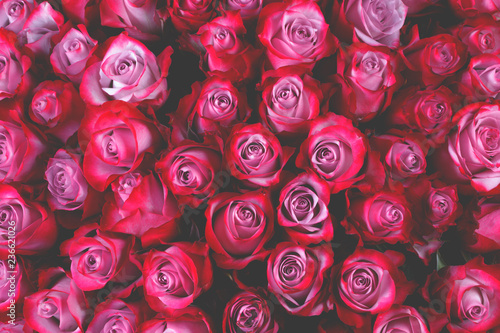 Pink rose flowers background - 236621026