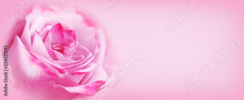 Pink rose flower background