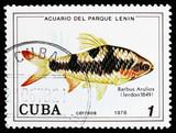 Arulius Barb (Barbus arulius), Fish (in Lenin Park Aquarium, Havana) serie, circa 1978