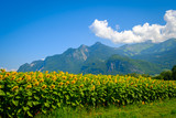 Travel bicycle on the background of sunflower field and mountains at summer in Switzerland