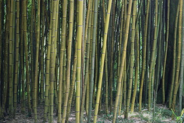 Bamboo forest © Надежда Морсова