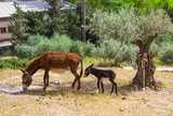 A donkey and foal grazing in the Nazareth Village Museum in Israel