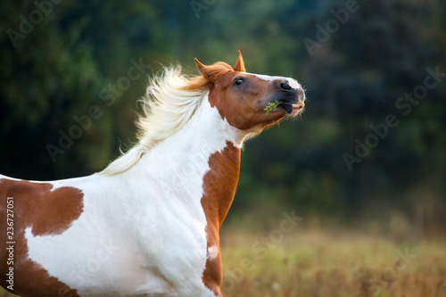 Red pinto horse portrait in motion