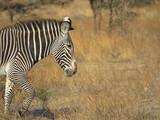 Zebra in der Massai Mara, Freitextfläche - 236732044