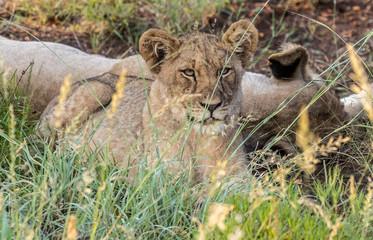 Löwen in Madikwe, Südafrika