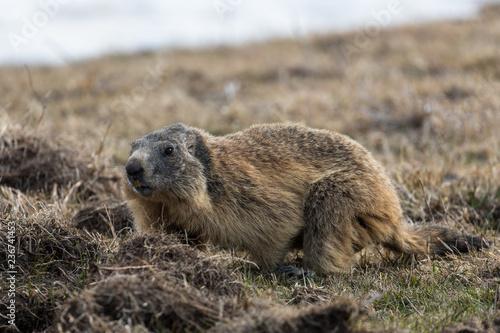 portrait de marmotte, Vercors, Alpes françaises