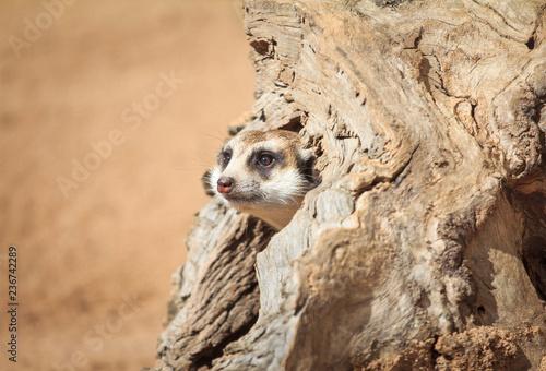 Plakat Meerkat portret