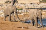 Two elephants ( Loxodonta Africana) walking near the water hole, Etosha National Park, Namibia.