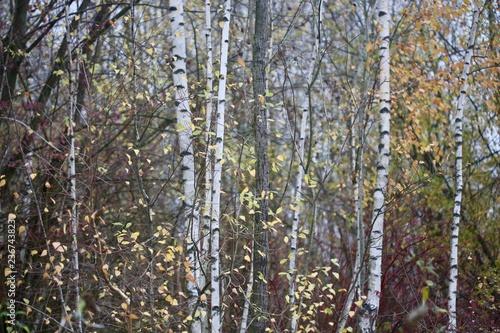 birkenwald im Herbst