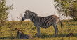 Burchell's zebra mare and foal isolated on a ridge in the African bush image with copy space in landscape format
