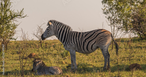 Burchell's zebra mare and foal isolated on a ridge in the African bush image with copy space in landscape format - 236749267