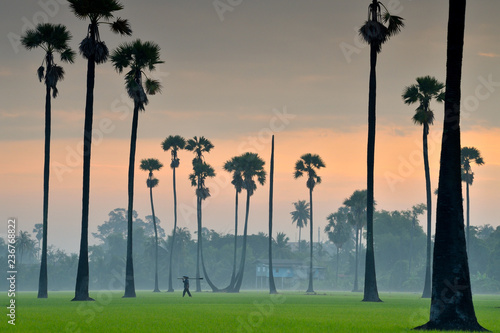 Landscape of the rice field in Thailand at sunrise. The rice is germinated in the fields of Thailand. Sugar palm trees in rice field at sunrise in the morning fog.