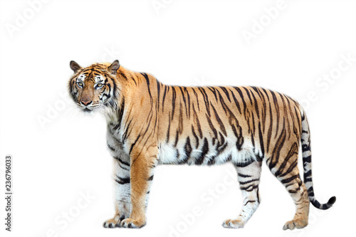 Tiger action on white background. - 236796033