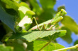 A green mantis is sitting on a sheet of grapes on a sunny summer day against a blue sky.