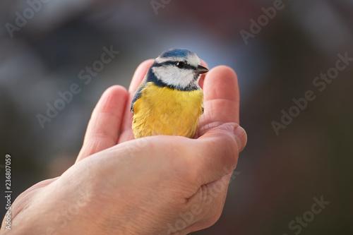 Leinwandbild Motiv Blaumeise auf einer Hand