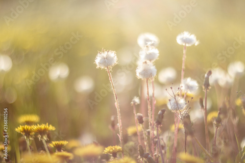 dandelions in the meadow - 236810256
