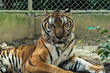 Bengal Tige In the cage
